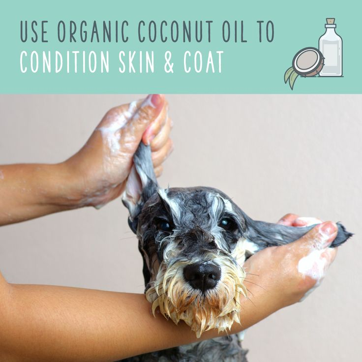 Gently rub the coconut oil into the fur so that it reaches the skin, and leave it on for five minutes before rinsing. Don't forget their paws and nails, too! If their fur still feels oily, add a bit of shampoo and rinse again. You can do this once a week to make their skin and coat super soft and healthy. As an added bonus, coconut oil also helps reduce odors!