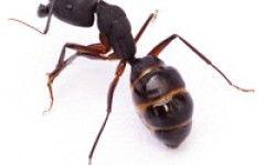 Black garden ants Ants – Surrey, Sussex, Kent and London
