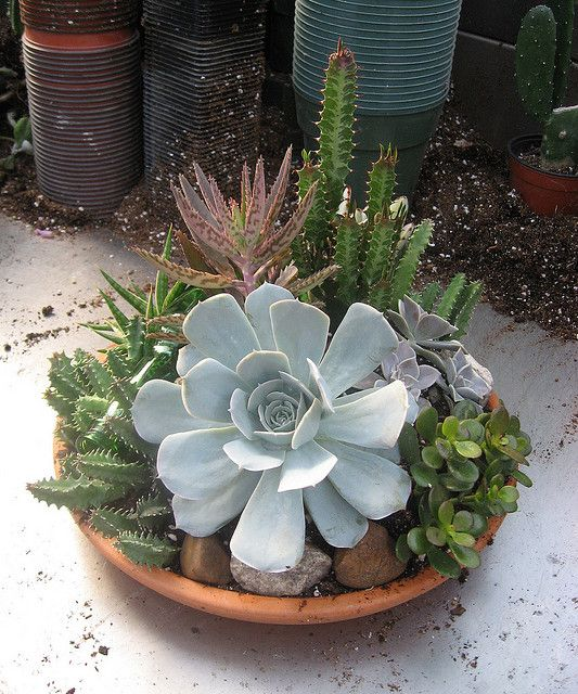 Container garden of large succulents.