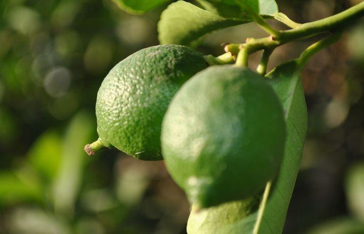 """La producción de limón de Michoacán -destinada principalmente para el mercado nacional- está reportando caídas desde que a mediados del año pasado la plaga llamada """"Trips"""" atacó los cultivos. Hasta julio y agosto todavía era posible que los agricultores consiguieran 20 toneladas por hectárea, pero actualmente obtienen 25 por ciento menos de producción, refirió Jaime …"""