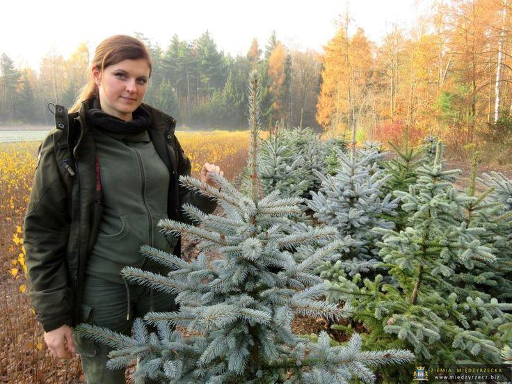 Przed świętami pojawia się jak zwykle pytanie czy kupowanie choinki z lasu jest ekologiczne? Odpowiedź jest prosta: TAK.