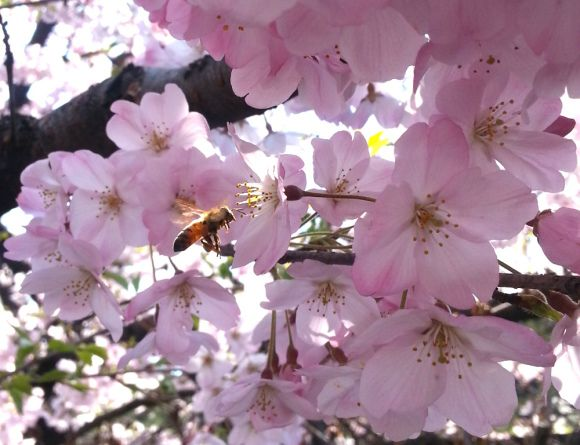 Japanese weather site reveals the secret to knowing when a sakura cherry blossom will fall