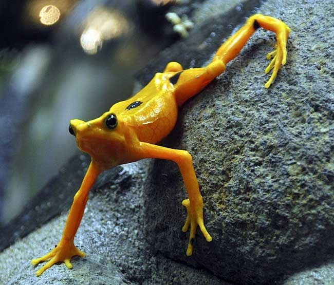 PANAMANIAN GOLDEN FROG, REALLY AN ENDANGERED TOAD