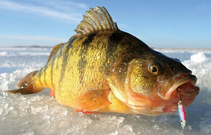 """Known as """"teeter pigs,"""" these magnum jumbo perch from Lake Gogebic in Michigan's Upper Peninsula are so big that they teeter and totter, but they don't fall down. Image by Jeff Simpson/in-fisherman.com."""