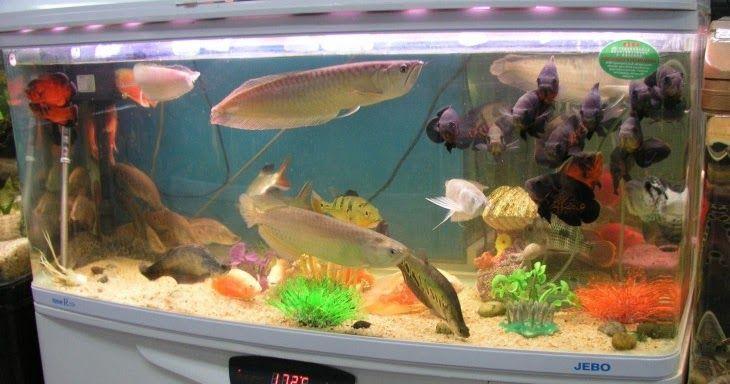 cara merawat ikan arwana di aquarium