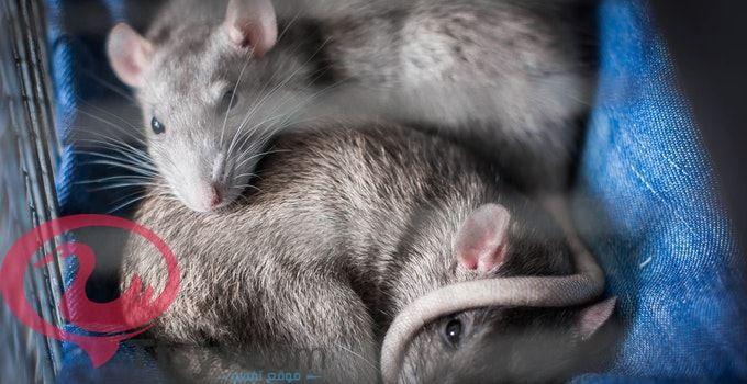 تفسير رؤية الفأر في المنام للعزباء والمتزوجه والحامل 5 Animals Ferret