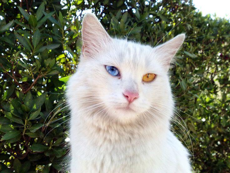 17 Best images about Turkish Van Cat on Pinterest   Swim ...