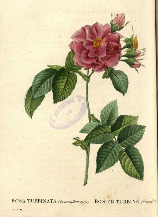 22 best pierre joseph redoute images on pinterest for Biblioteca digital real jardin botanico