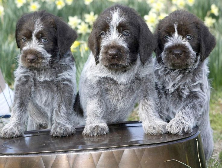 If I ever get a dog...: German Pointers, Wirehaired Pointing Griffon, Google Search, Hunt'S Dogs, Wire Hair, Wirehaired Points Griffon, Pointers Puppies, German Wirehaired Pointers, Griffon Puppies
