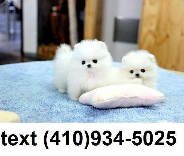 Teacup Pomeranian Puppies Pomeranian Puppy Teacup Pomeranian Puppy Pomeranian Puppy For Sale