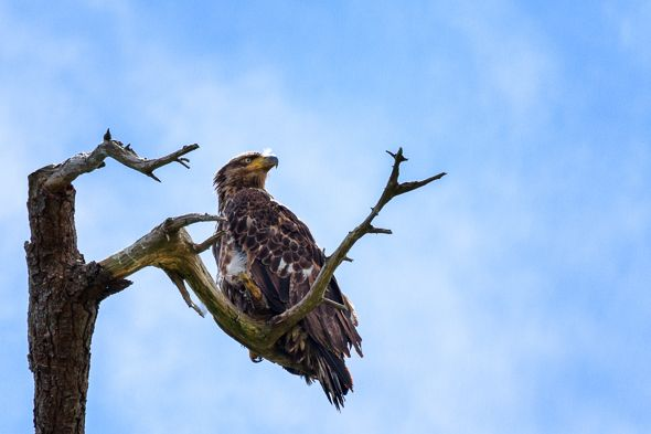 Juvenile Bald Eagle Sitting Tall & On Guard