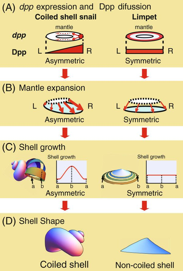9 Best Shell Anatomy Images On Pinterest Shells Shell And Anatomy