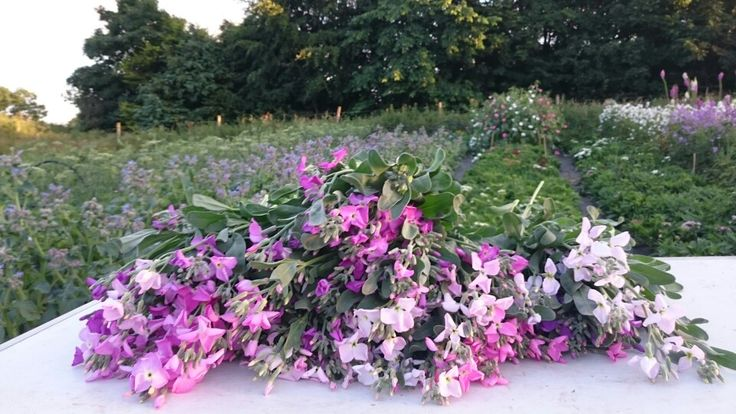 Heavenly scented stock, a dream harvest!