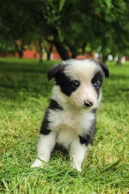 Border Collie Puppies for Sale | Lancaster Puppies