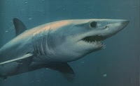 Mako, fastest shark in the world, fastest fish in the sea.