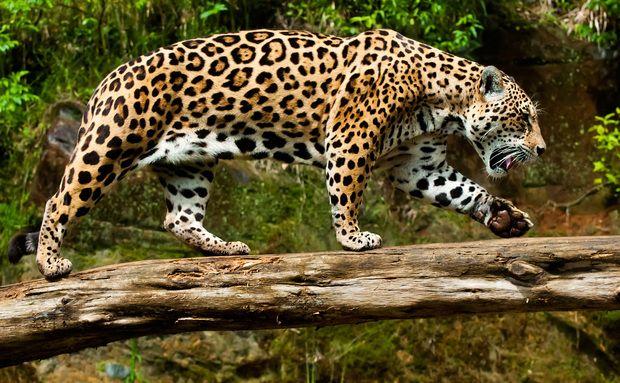 Onça Pintada no Gramado Zoo, Gramado (RS)