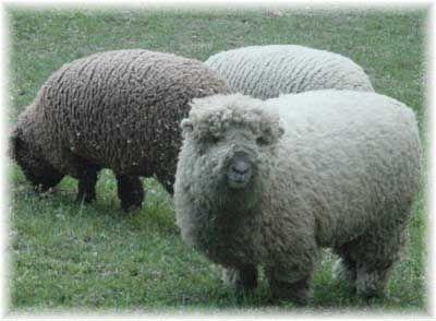 Google Image Result for http://babydollsouthdowns.com/Babydoll_Sheep_1.jpg