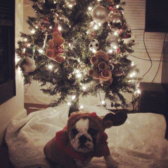 Chorizo the bulldog loves his Christmas tree.