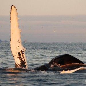 la migration du hareng attire orques et baleines à bosse, La densité de mammifères marins, à ce moment là est la plus forte d'Europe.