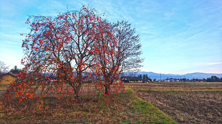 柿の木と豆柿の木