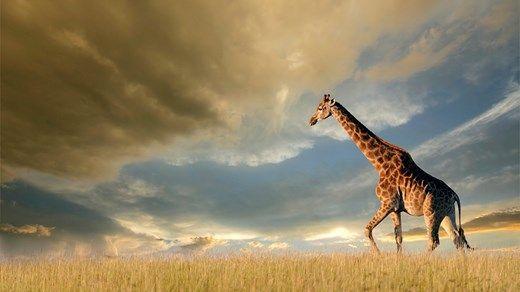 8 fantastiske nasjonalparker for safari i Afrika #kilroy #Africa #giraffe #savannah #wildlife