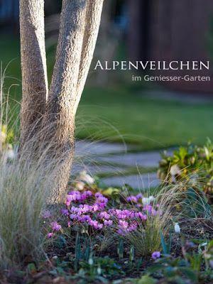 Cyclamen coum - Wildes Alpenveilchen blüht von Mitte Dezember bis Mitte März - also fast den ganzen Winter - bei uns im Garten. Flowers that bloom in winter - even in snow