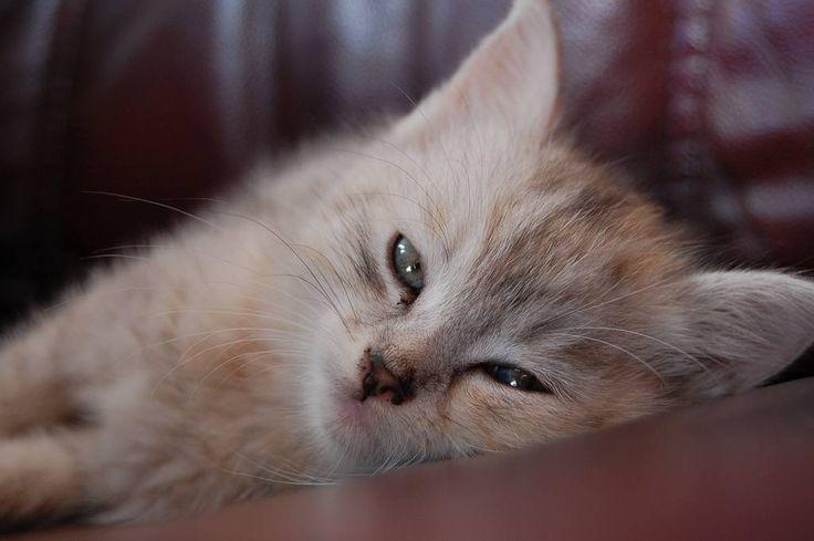 I just found this in my old photos. Cuteness overload here. :D #memories #cutekitten #lookingrelaxed #almostasleep #whitecat #cat #kitten #missher