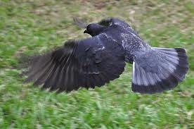 pigeon flight - Google Search