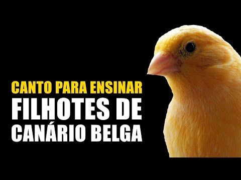 DE CANTANDO VIDEOS BAIXAR BELGA CANARIO