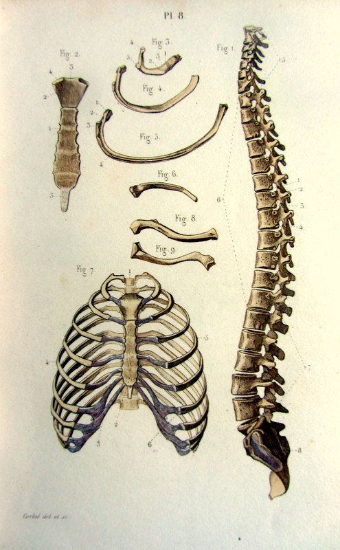 1852 vintage imprimé du thorax columne vertébrales, anatomie antique gravure, original bréchet Lithographie couleur et côtes bones illustration.