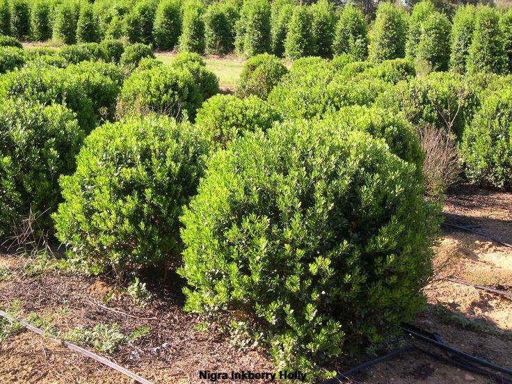 Inkberry Holly Nigra Ilex Glabra 5 Tall Plant