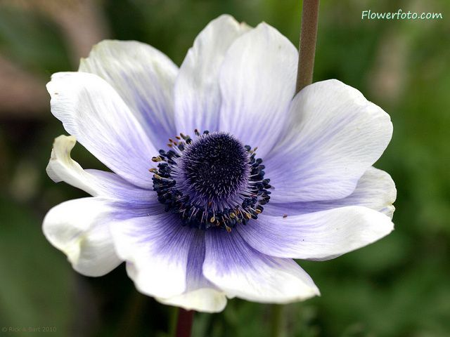 Anemone Flowers for tattoo design 10