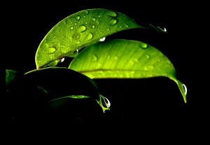 Water droplets on leaf by Prasanna Bhat -  Click on the image to enlarge.
