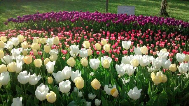 Tulipani a Pralormo