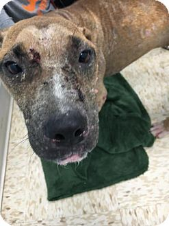 Pit Bull Terrier/Labrador Retriever Mix Dog for adoption in New York, New York - Callie who is 10-12 months old & us suffering from demodex (non contagious mange. When she is healthy she will be available through Rescue Dogs Rock.