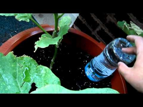 Watering plants while on vacation.