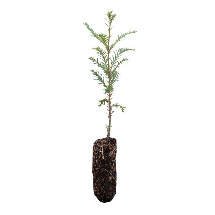Live Tree Seedling (Medium) Coast Redwood Plant Outdoor Garden Yard Best Gift #LiveTreeSeedling #Custom