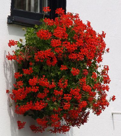 Window Box with geraniums