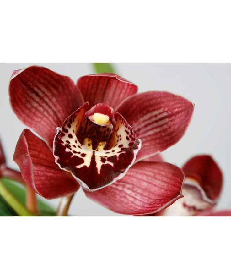 Cymbidium - splendida #Orchidea originaria dell'Himalaya -  http://www.bakker-it.com/prodotto/orchidea-cymbidium-rosso/