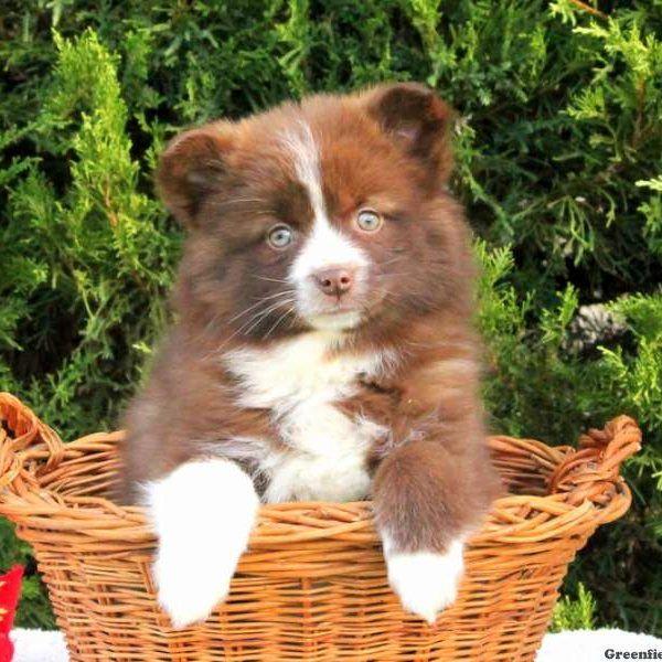 Chloe, Pomsky Puppy
