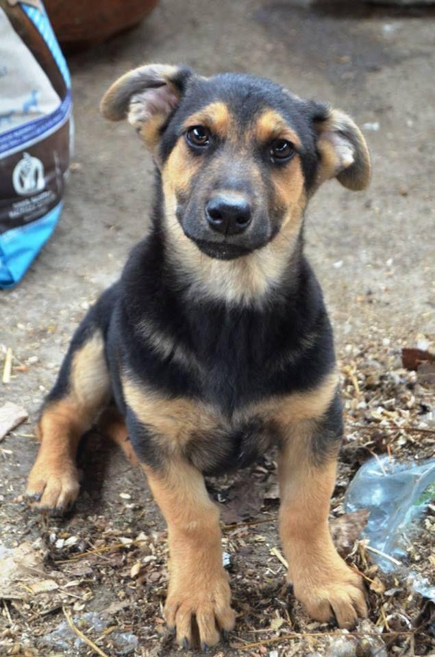 Amber sucht ein Zuhause  Die Geschwister wurden mit ihrer Mutter im Wald gefunden. Eins von ihnen hat so laut geweint, dass man es aus weiter Entfernung hören konnte. Als unser Team von Anu vor Ort war waren sie zuerst sehr ängstlich haben sich jedoch halb verhungert über das mitgebrachte Futter her gemacht. 5 von ihnen hatten Parvovirus, sie haben es aber gut überstanden und suchen nun eine liebevolle Familie. Hundevermittlung Hunde Tierschutz dogs cute