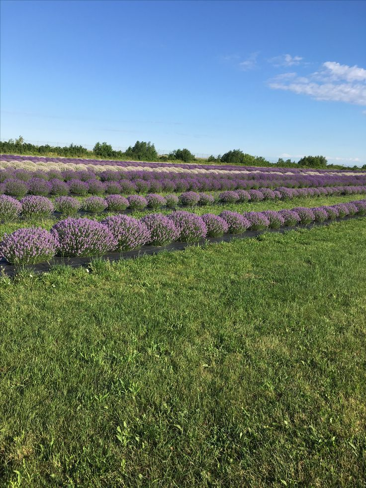 Early am at the lavender farm.