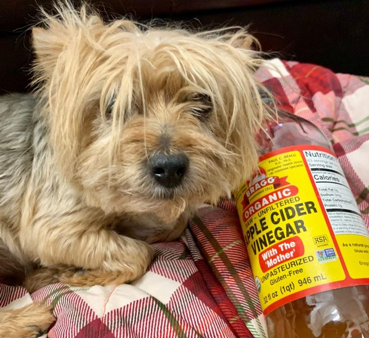 Apple cider vinegar is so much more than a kitchen staple. Dogs and cats can benefit from this acid which can be diluted to a milder pH of roughly 3-5 depending on how much it's diluted, of course. Apple cider vinegar is good at many things in pet care: as an ear cleaner, a foot […] Ear Cleaning, Cleaning Tips, Apple Coder Vinegar, Smelly Dog, Holistic Center, Dog Ear Cleaner, Apple Cider Benefits, Pet Clinic, Acv