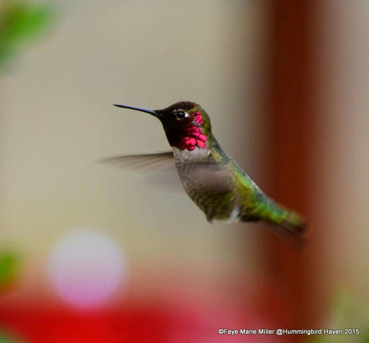 1000 Images About Columbine On Pinterest: 1000+ Images About Hummingbird On Pinterest