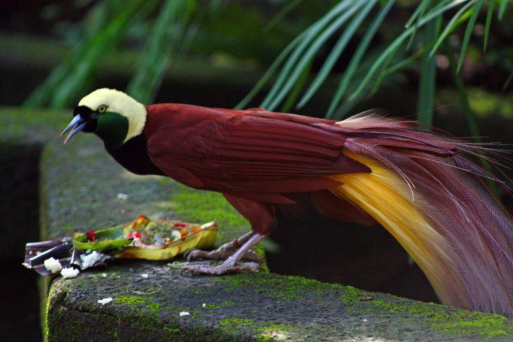 Greater-Bird-of-Paradise (Paradisaea apoda). Male Bird-of-Paradise eating offerings at Bali Bird Park.