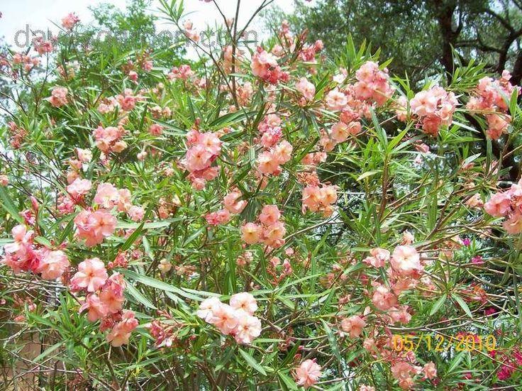 Oleander nerium oleander 39 mrs george roeding 39 lush - Nerium oleander ...