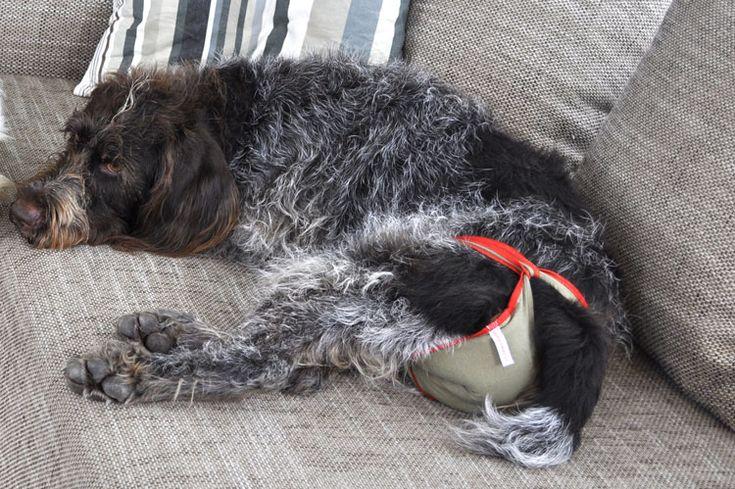 Hundewindeln als Schutzhose für die läufige Hündin