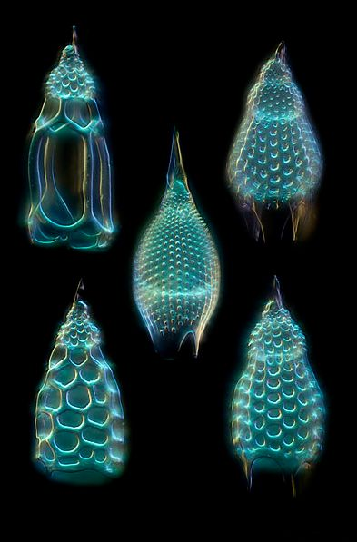 #MICROSCOPIC  http://www.microscopy-uk.org.uk/micropolitan/marine/radiolaria/index.html