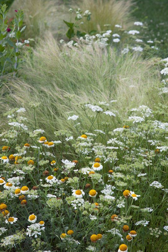 Anthemis 'Blomit' or Golden Marguerite, Orlaya grandiflora or White Lace Flower, and Nassella tenuissima -