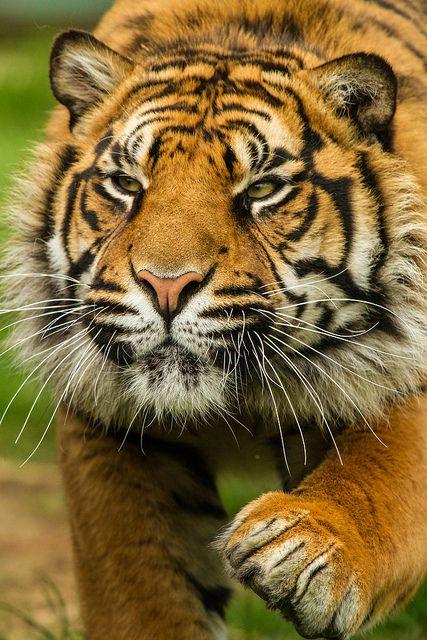 Wildlife Heritage Foundation - May 2013 by Patrick Walker ~ Sumatran tiger at Wildlife Heritage, there are fewer than 500 wild Sumatran Tigers